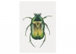 Affiche aquarelle  scarabée • illustration insecte • art print nature • poster naure • poster scarabé • affiche nature • affiche animal