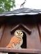 Puzzle la hulotte : chouette en bois