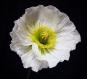 Fleur papier crépon - coquelicot pavot d'islande / iceland poppy - crepe paper flower