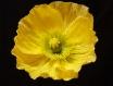 Fleur papier crépon - coquelicot pavot d'islande jaune / yellow iceland poppy - crepe paper flower