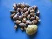 Lot de 28 mini coquillages créatifs en spirale percés au dos et vernis.mixte - idéal pour la fabrication de bracelets ou de colliers .