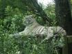 Sous main photo poster 40 x 60 tigre blanc