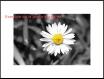 30x45 paquerette - effet couleur dans du noir et blanc